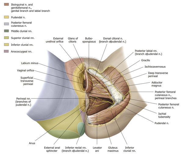 Although the perineum is largely supplied by the pubdental nerve in regard to cutaneous innervation, note the significant aspects of it innervated by branches of the lumbar plexus here illustrating th