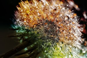 Close-up shot of a dandelion with water droplets