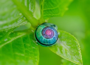 A snail shell with a gradient of pink to sea green as the spiral opens out on a lush green leaf