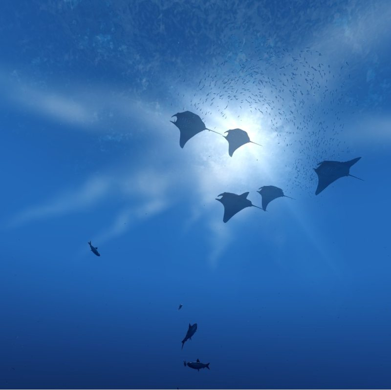 Five mantis rays swimming in the ocean.