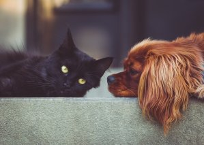 A black cat stretches out on a concrete step next to a cocker spaniel
