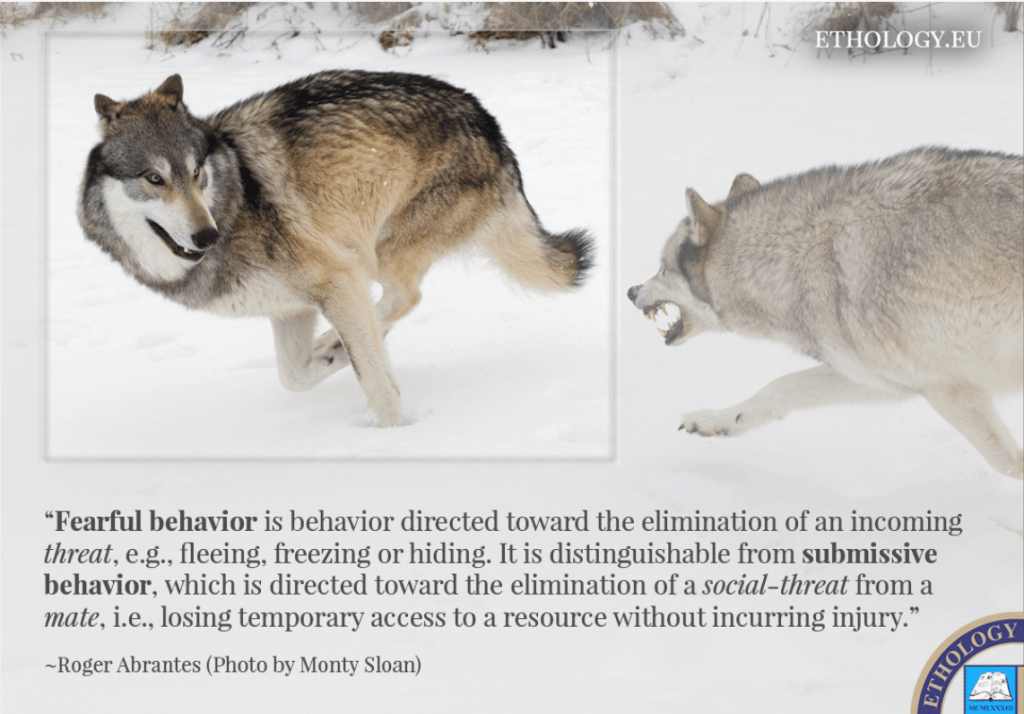 Photo of a wolf running from another wolf and a blurb underneath distinguishing the difference between fearful and submissive behavior.