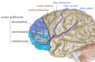 prefrontal1