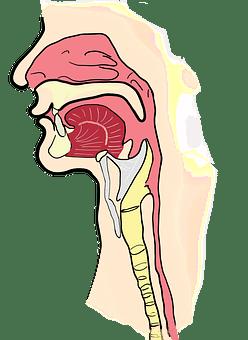 the-larynx-2381980__340