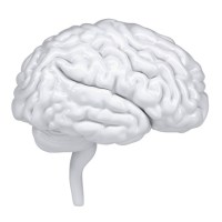 3d white human brain. A side view
