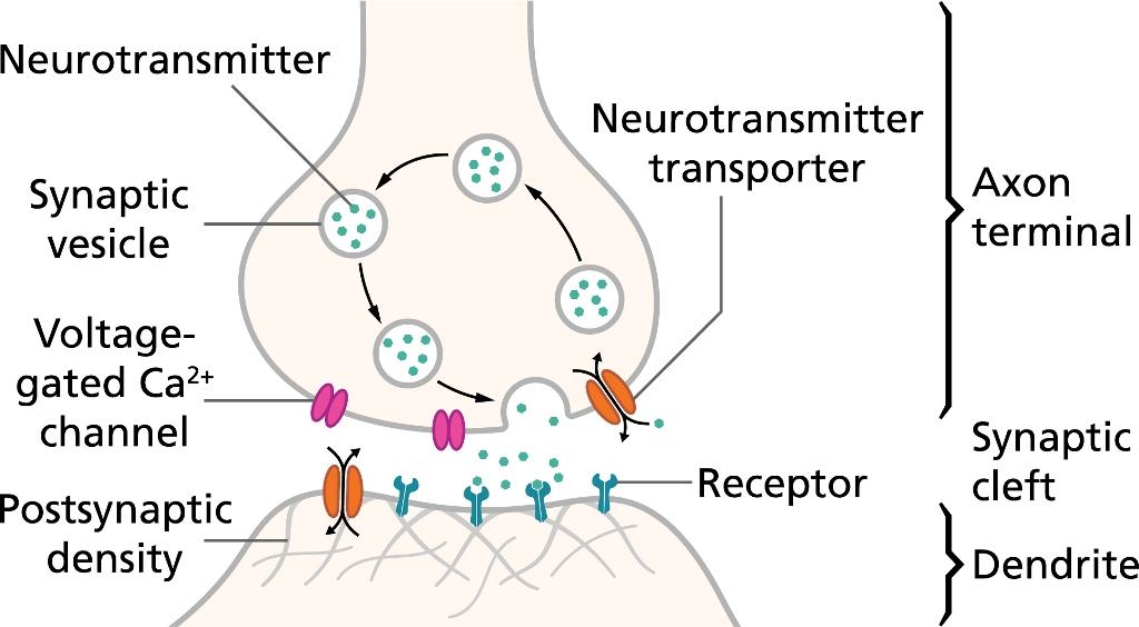 Potensi aksi dalam neuron