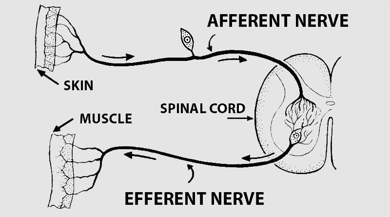 Term Afferent Vs Efferent Neuropetvet