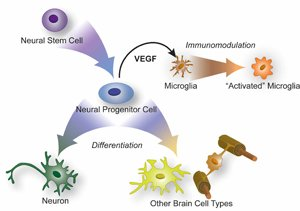 Rapidly dividing daughter neural progenitor cells, the progeny of neural stem cells, can differentiate into most types of cells that inhabit the brain. But they also secrete substances that stimulate the brain's resident immune cells, or microglla, Tony Wyss-Coray's group has found
