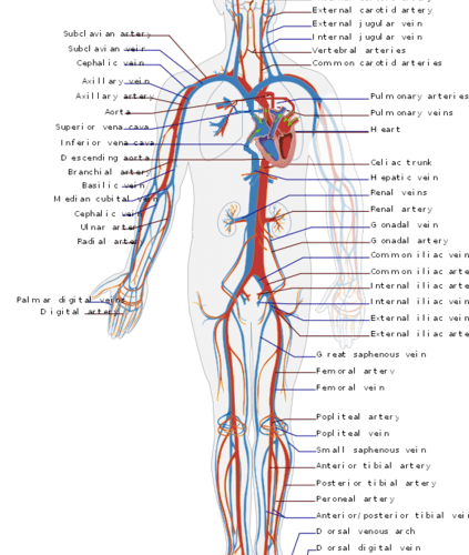The image shows a modified schematic of the Circulatory system.