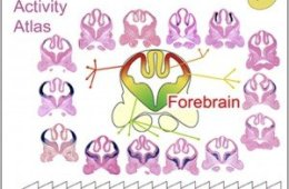 The image shows the atlas activity of the forebrain. The caption describes the image best.