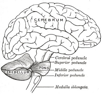 This is a diagram of the cerebellum.