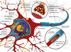 The image shows a complete neuron cell diagram.