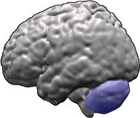 The image highlights the cerebellum in the brain.