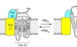 This image shows the structural alterations of the TIM23 channel. The caption best describes the image.