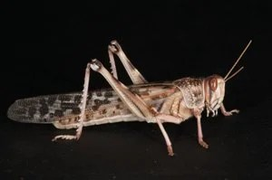 This is an image of the locust used in the study.