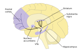 The image shows the dopamine pathway with the nucleus accumbens and frontal cortex highlighted.