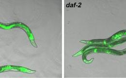 The image shows the DAF-2 mutants with decreased insulin/IGF-1 signalling. The caption best describes the image.