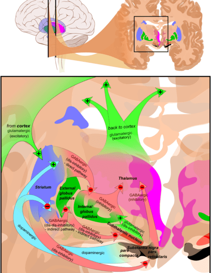 The image shows the pathways in the basal ganglia. The striatum is shown in a purple/blue color.