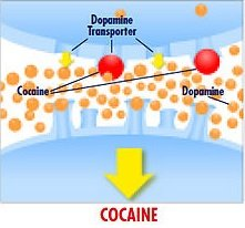 The image shows exaggerated dopamine release after taking cocaine.