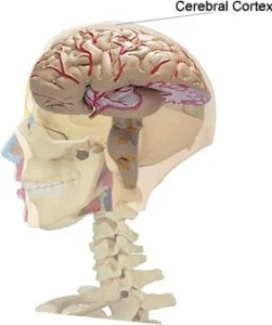The image shows the location of the cerebral cortex in the brain.