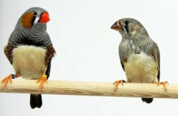 The image shows an adult male zebra finch with a juvenile male.