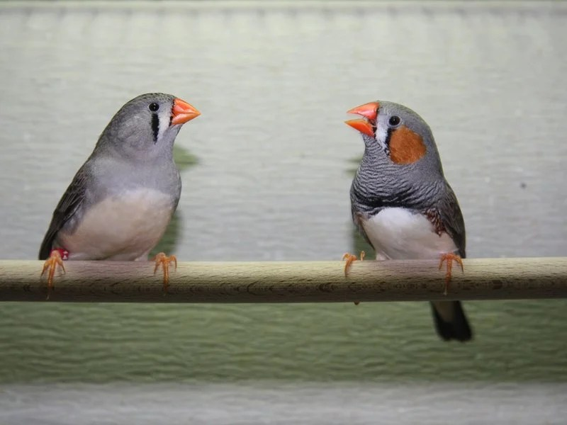 This is a picture of two adult zebra finches.