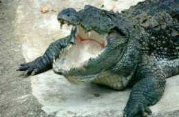 This is a mugger crocodile.