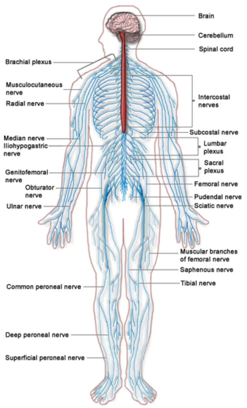Diagram Of The Major Parts Of Nervous System Electrical Work