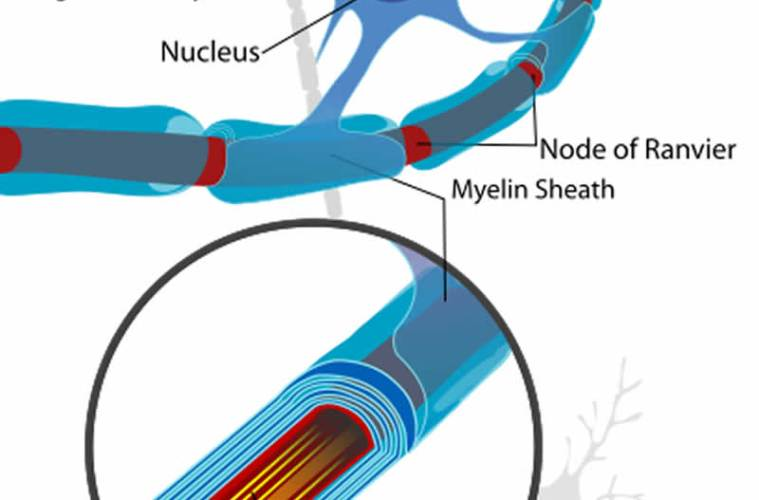 This is a neuron cell diagram, cropped to show oligodendrocyte and myelin sheath.