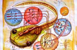 The image shows a tadpole and its neuroanatomy.