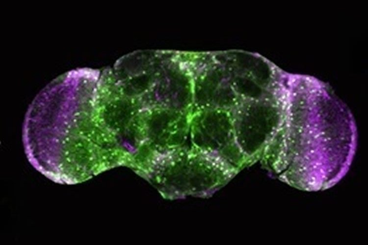 The image shows the brain of an adult fruit fly.