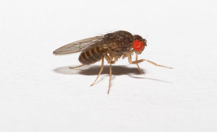 This image shows a drosophila fruit fly.