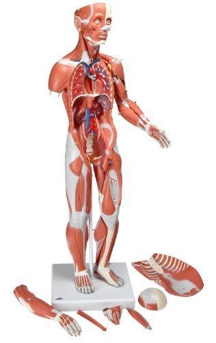 Human Female Muscular Figure Model Neuroscience News