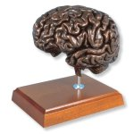 3B-Scientific-MAC18K-Copper-MEDart-Brain-Model-6-Height-0