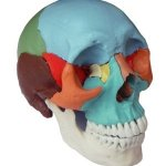 Human-Medical-Anatomical-Adult-Osteopathic-Skull-Model-22-Part-Didactic-Colored-0