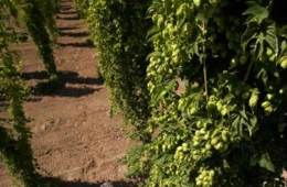 The image shows researchers examining hops.