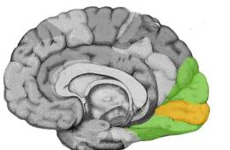 This image highlights the location of the visual cortex in the brain.