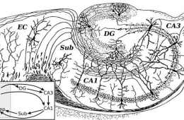 This image is Santiago Ramon y Cajal's drawing of a hippocampus.