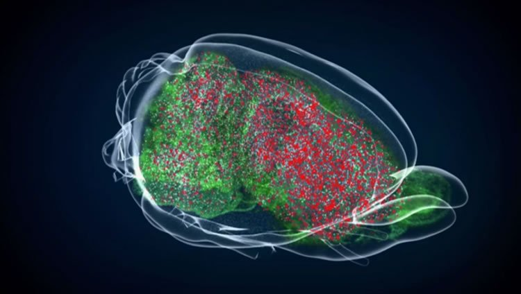 This image shows the location of the JC virus in the brain in red.