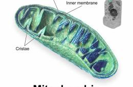 This image is a depiction of the general mitochondrion structure.