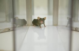 This image shows a mouse looking for food in a maze.