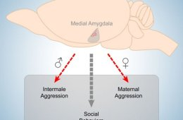 This image is a diagram of the medial amygdala.