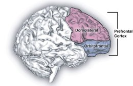 This image shows the location of the prefrontal cortex.