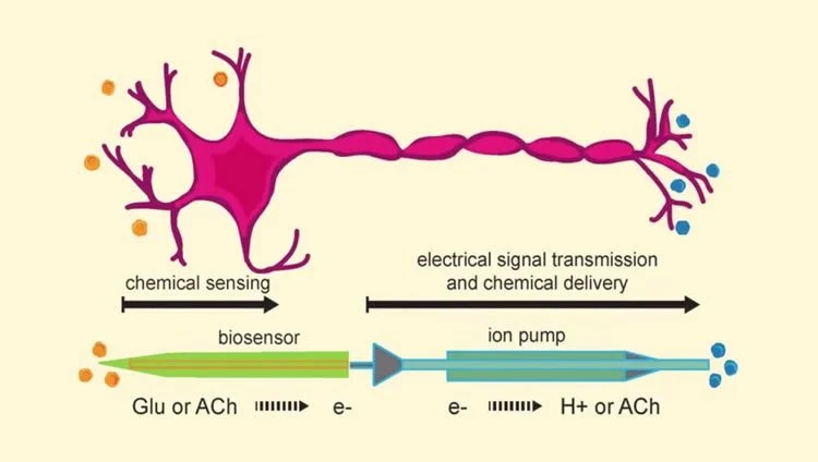 Artificial neurons can communicate in the same way as human neurons image shows a drawing of a neuron and the electronic components ccuart Image collections