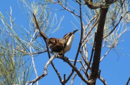 This image shows a chestnut-crowned babbler.