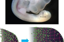 Image shows a chicken embryo.