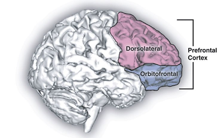 Image shows the location of the prefrontal cortex.