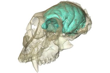 This image shows the skull and brain of Victoriapithecus.