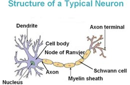This diagram shows the structure of a neuron.