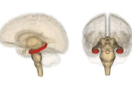 This shows the location of the hippocampus in the human brain.
